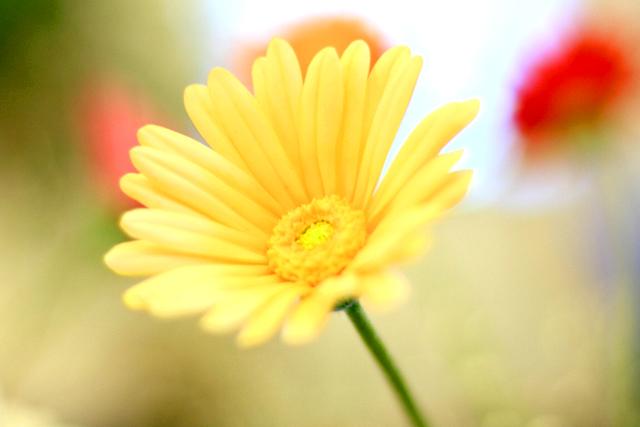 10月12日の誕生花・ガーベラ