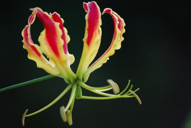 10月19日の誕生花・グロリオサ