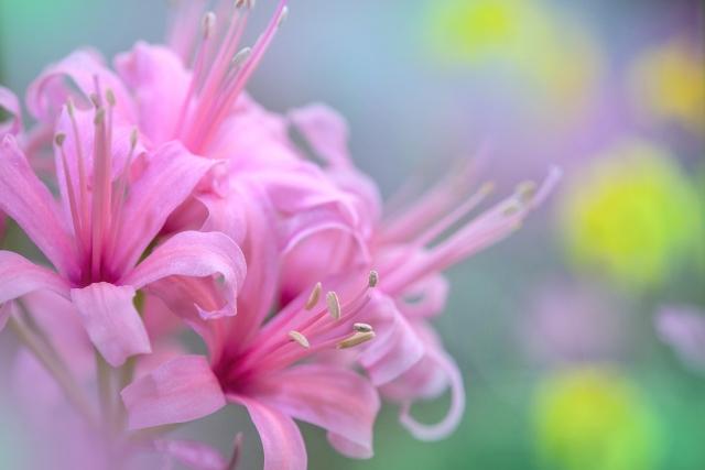 10月17日の誕生花・ネリネ(ダイヤモンドリリー)